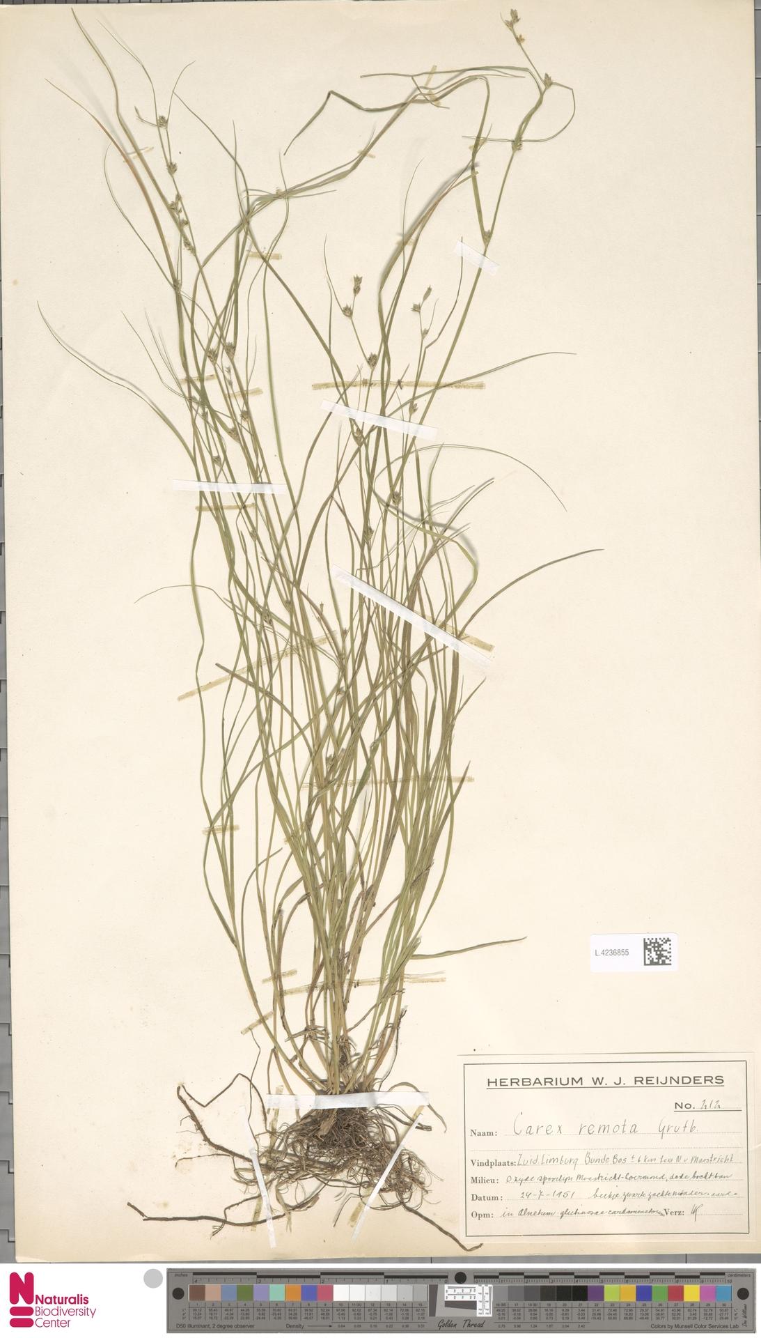 L.4236855 | Carex remota L.