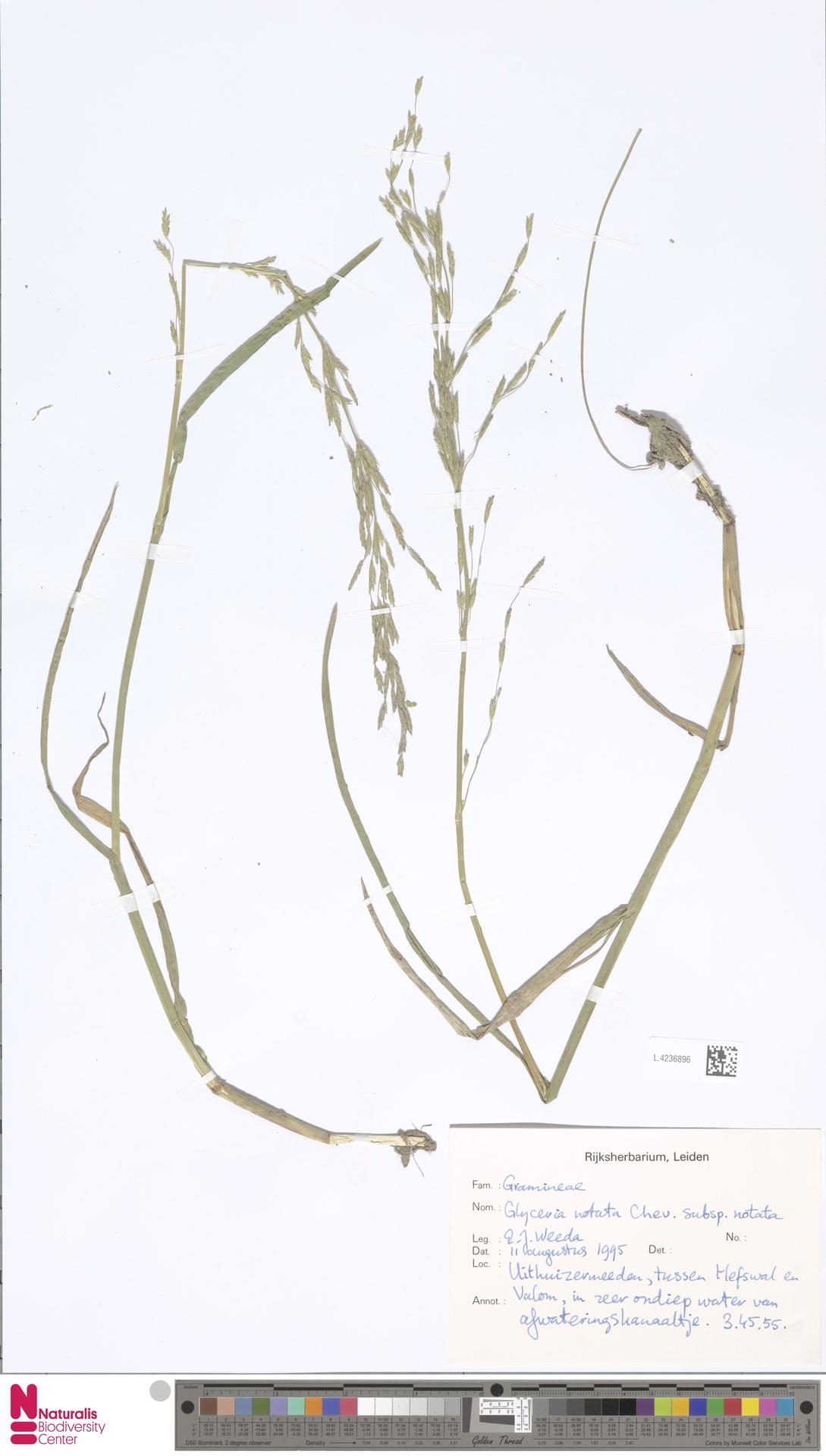 L.4236896 | Glyceria notata subsp. notata