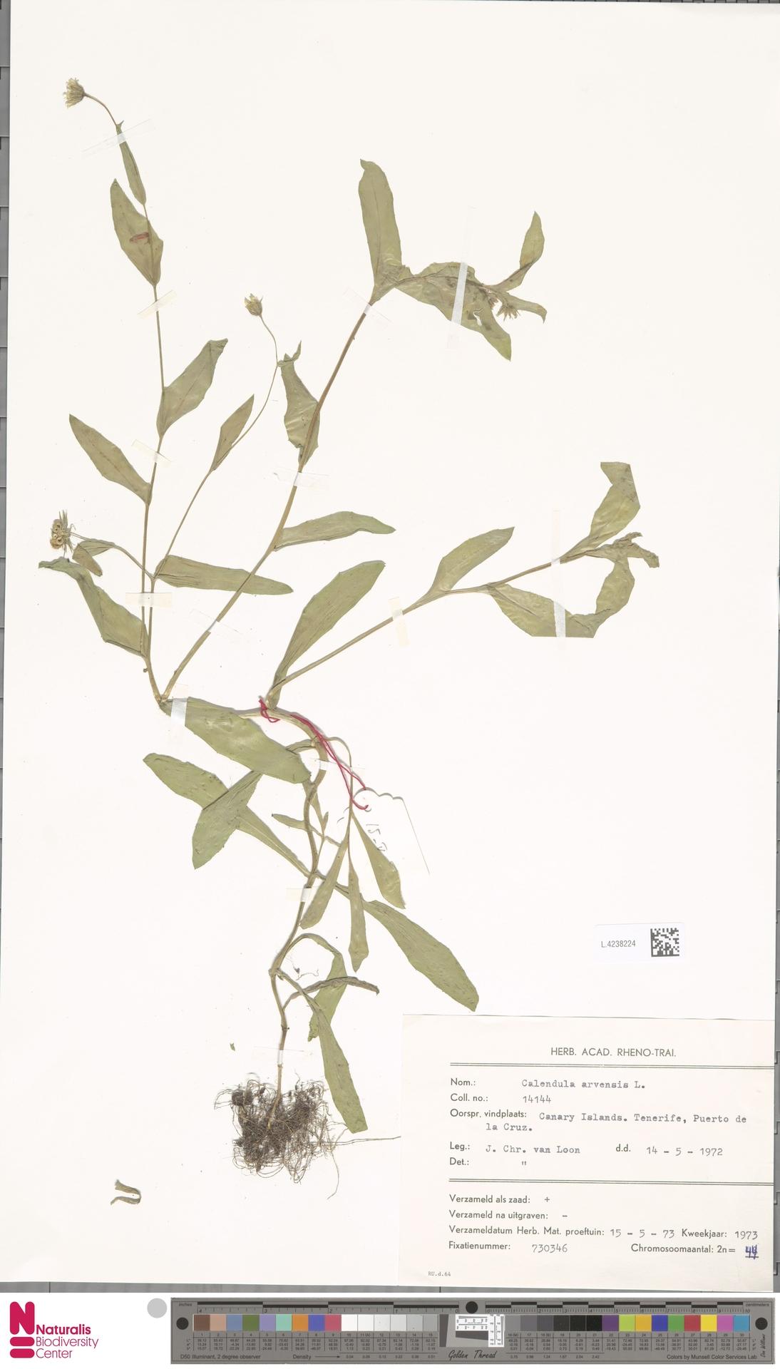 L.4238224 | Calendula arvensis (Vaill.) L.
