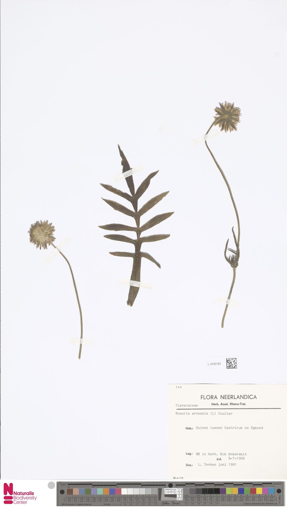 L.4240184   Knautia arvensis (L.) Coult.