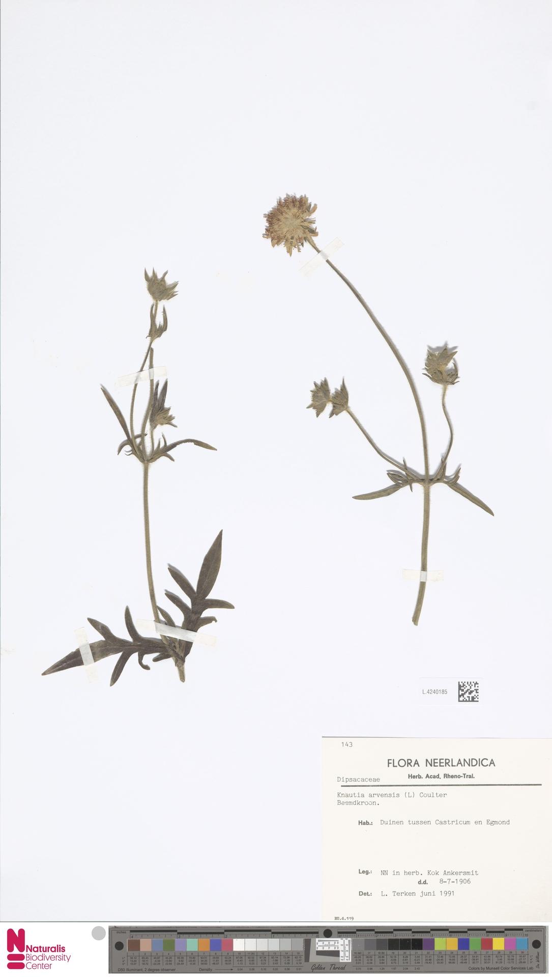 L.4240185 | Knautia arvensis (L.) Coult.