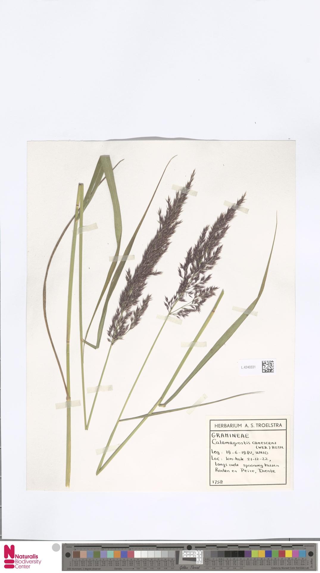 L.4240331 | Calamagrostis canescens (Weber) Roth