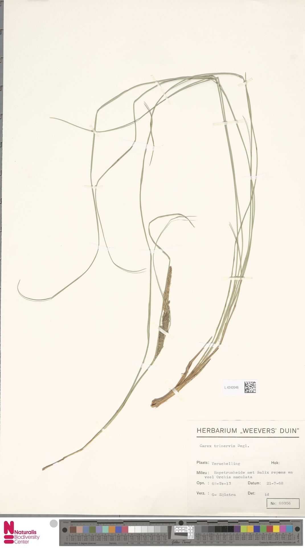 L.4242046 | Carex trinervis Degl.