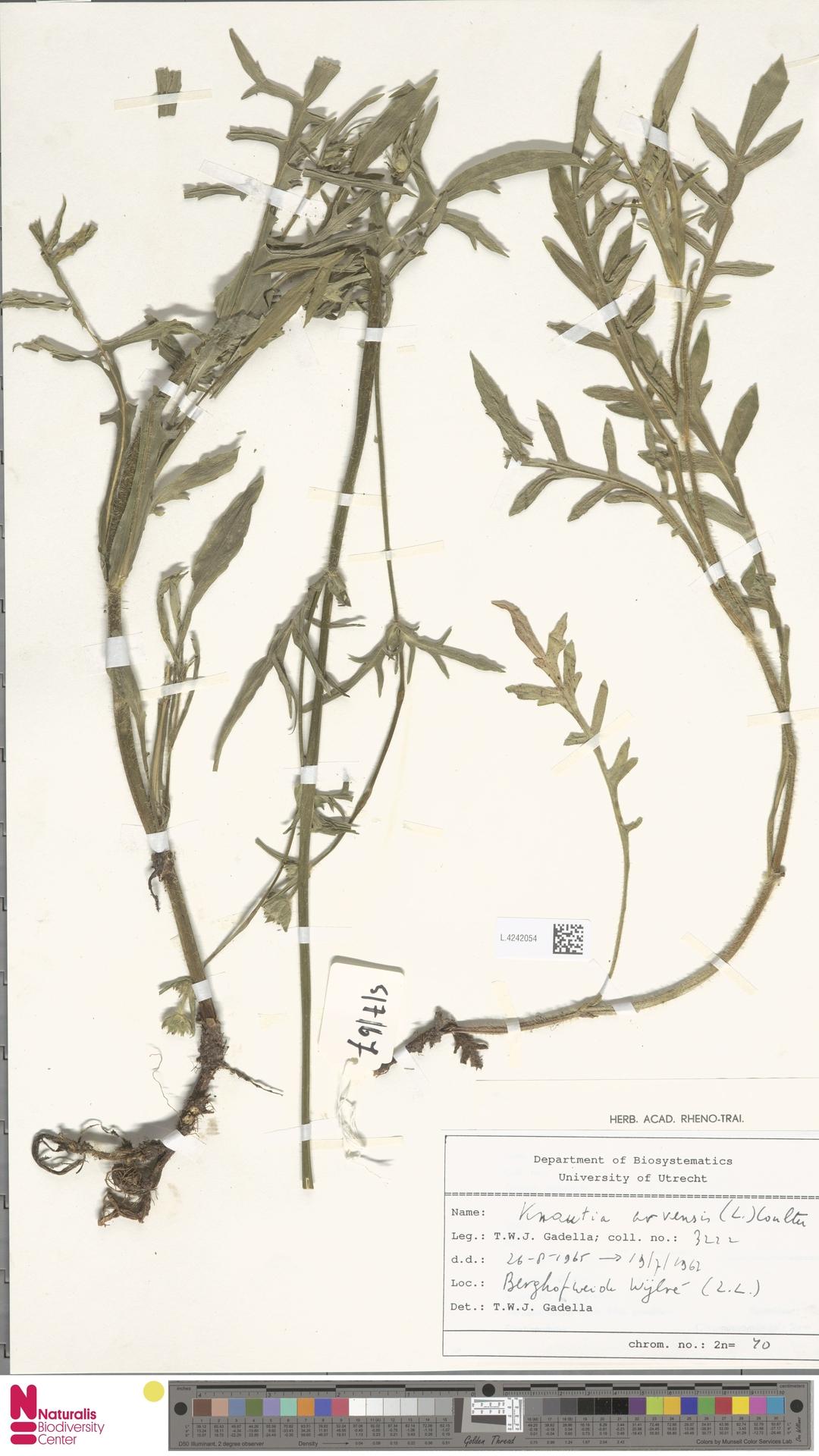 L.4242054 | Knautia arvensis (L.) Coult.