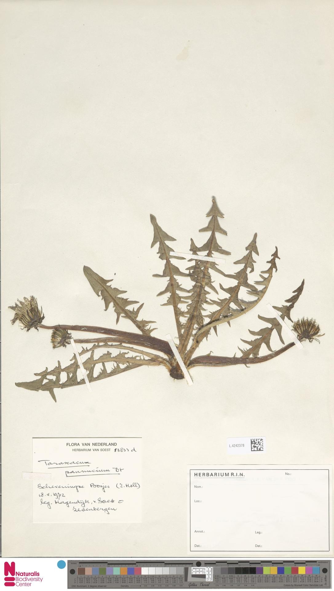 L.4242378 | Taraxacum pannucium Dahlst.
