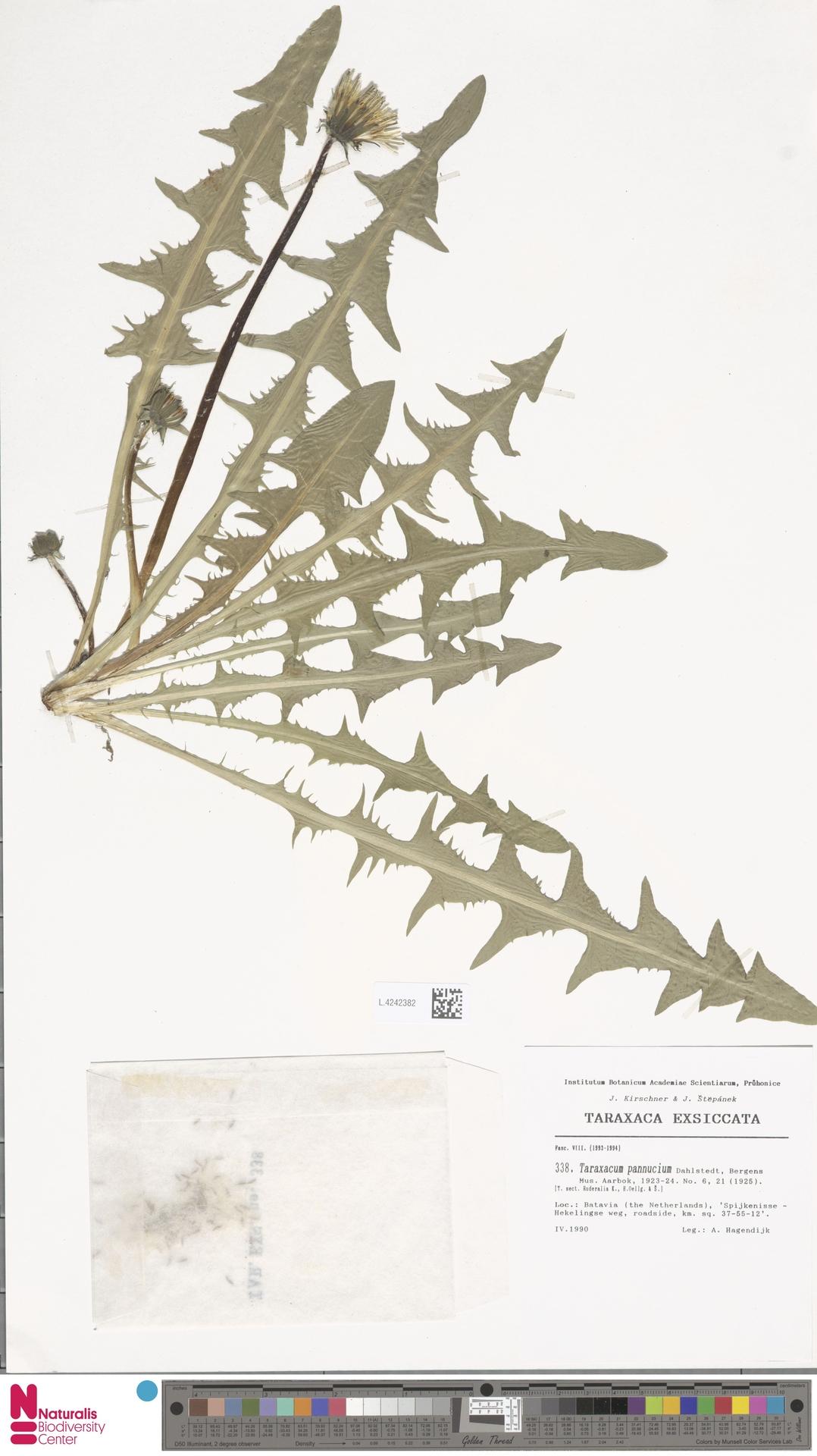 L.4242382 | Taraxacum pannucium Dahlst.