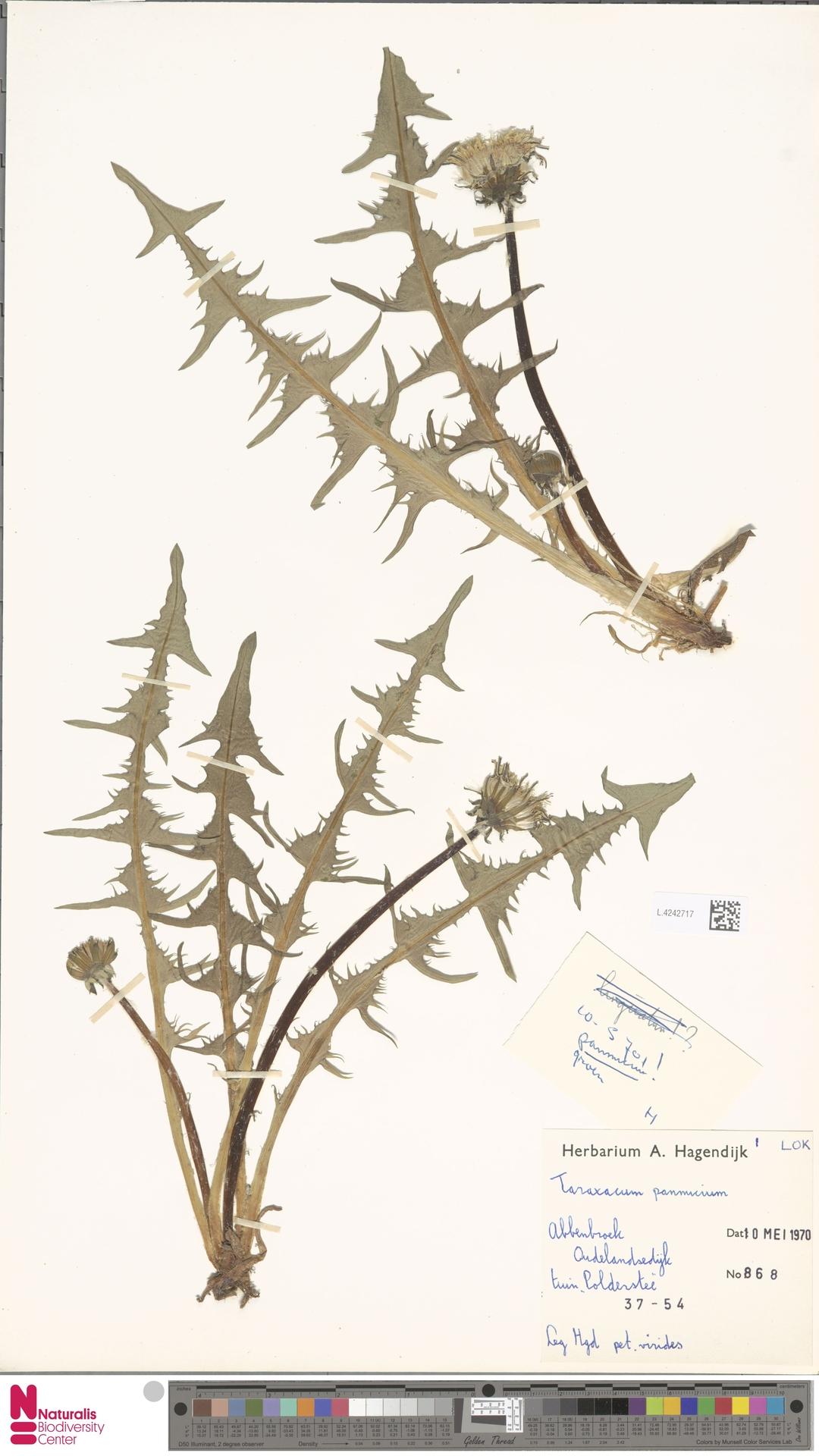 L.4242717 | Taraxacum pannucium Dahlst.