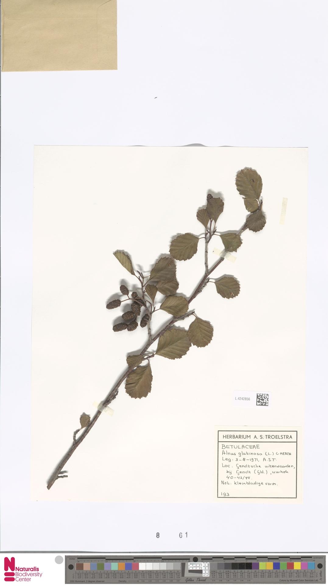 L.4242856   Alnus glutinosa (L.) Gaertn.