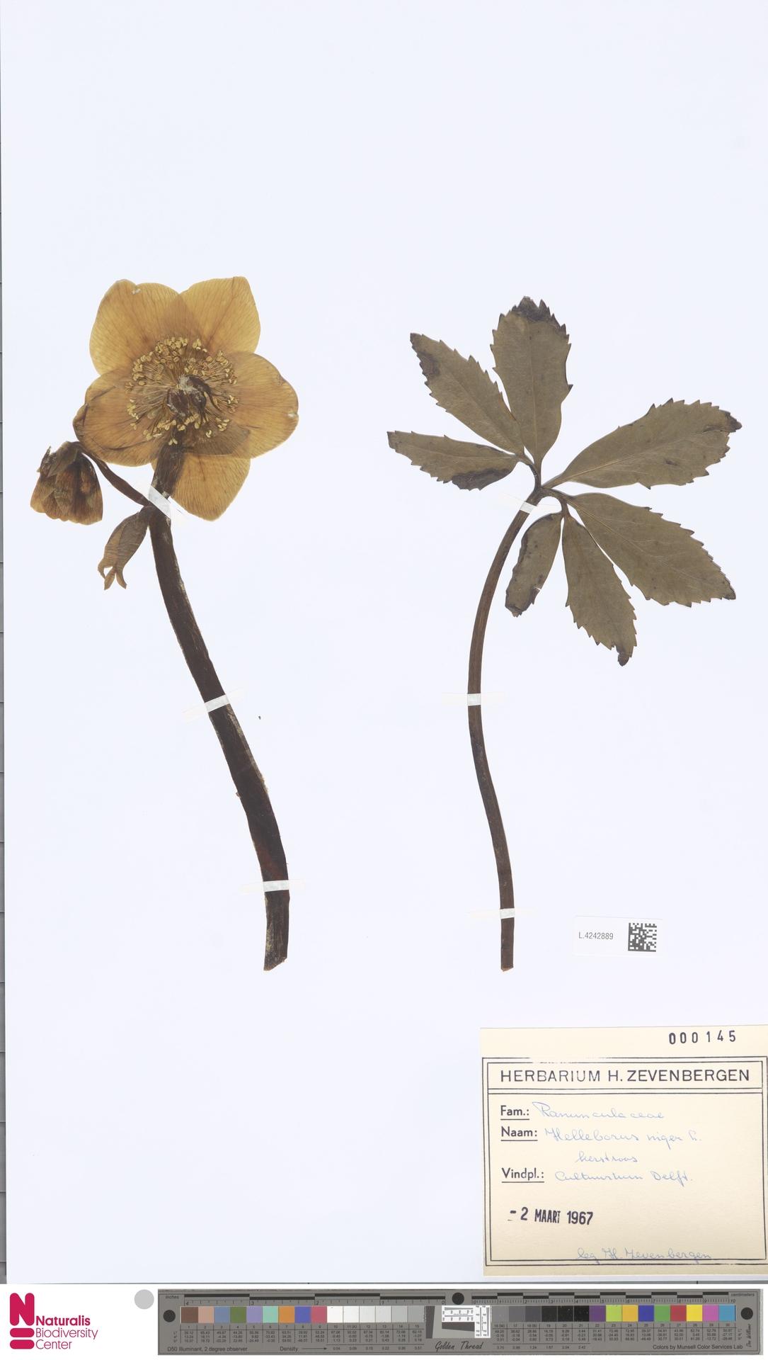 L.4242889 | Helleborus niger L.