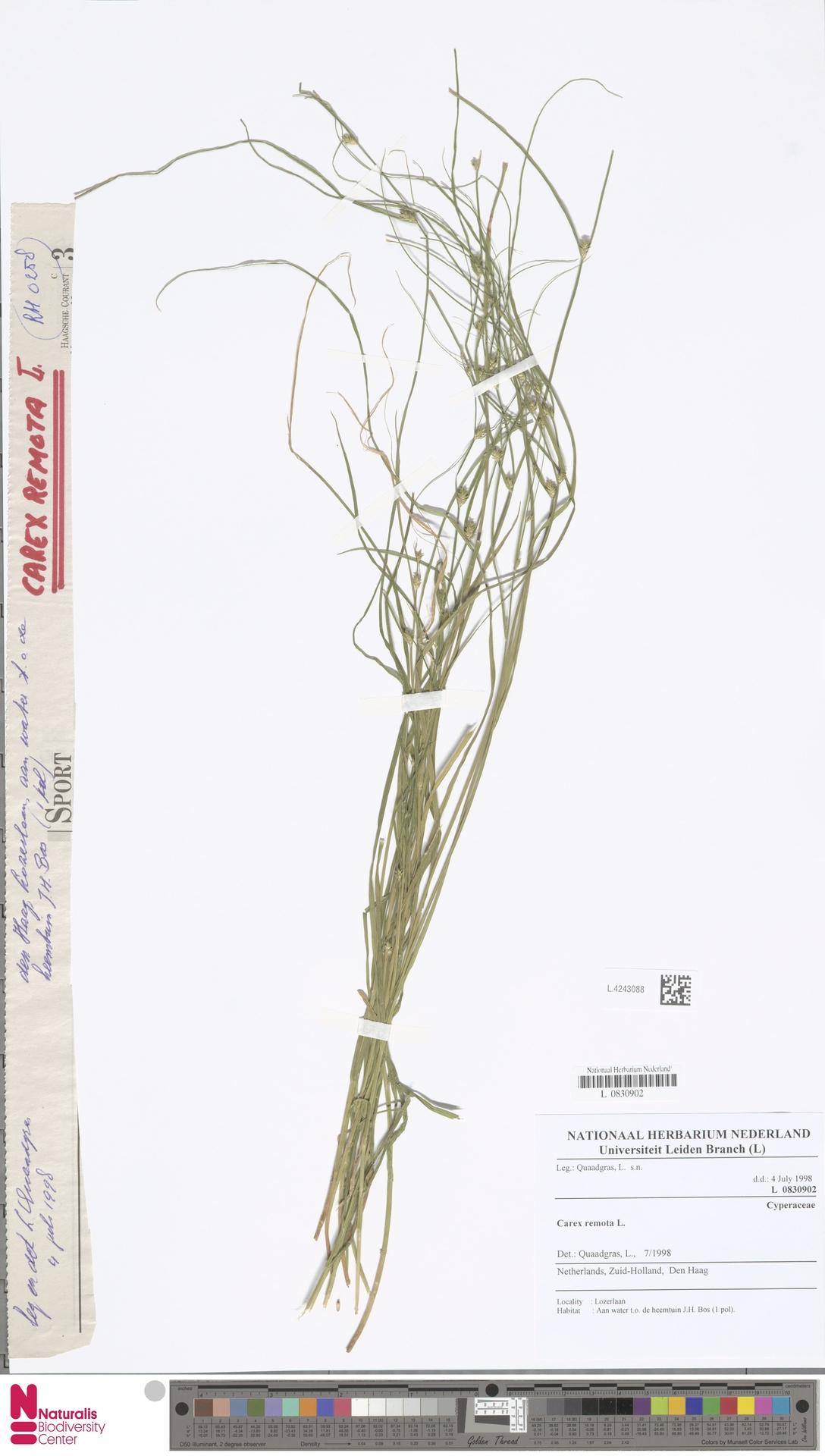 L.4243088 | Carex remota L.