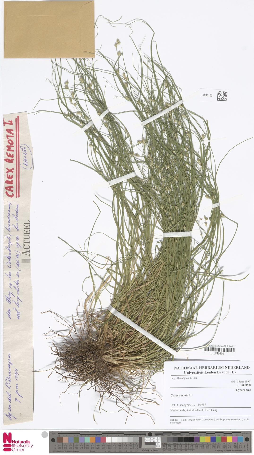 L.4243100 | Carex remota L.