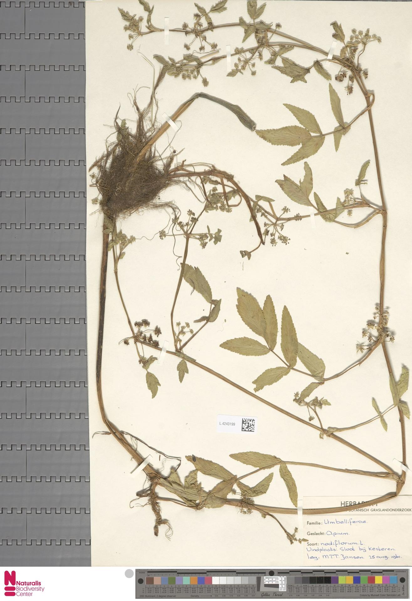 L.4243199 | Apium nodiflorum (L.) Lag.