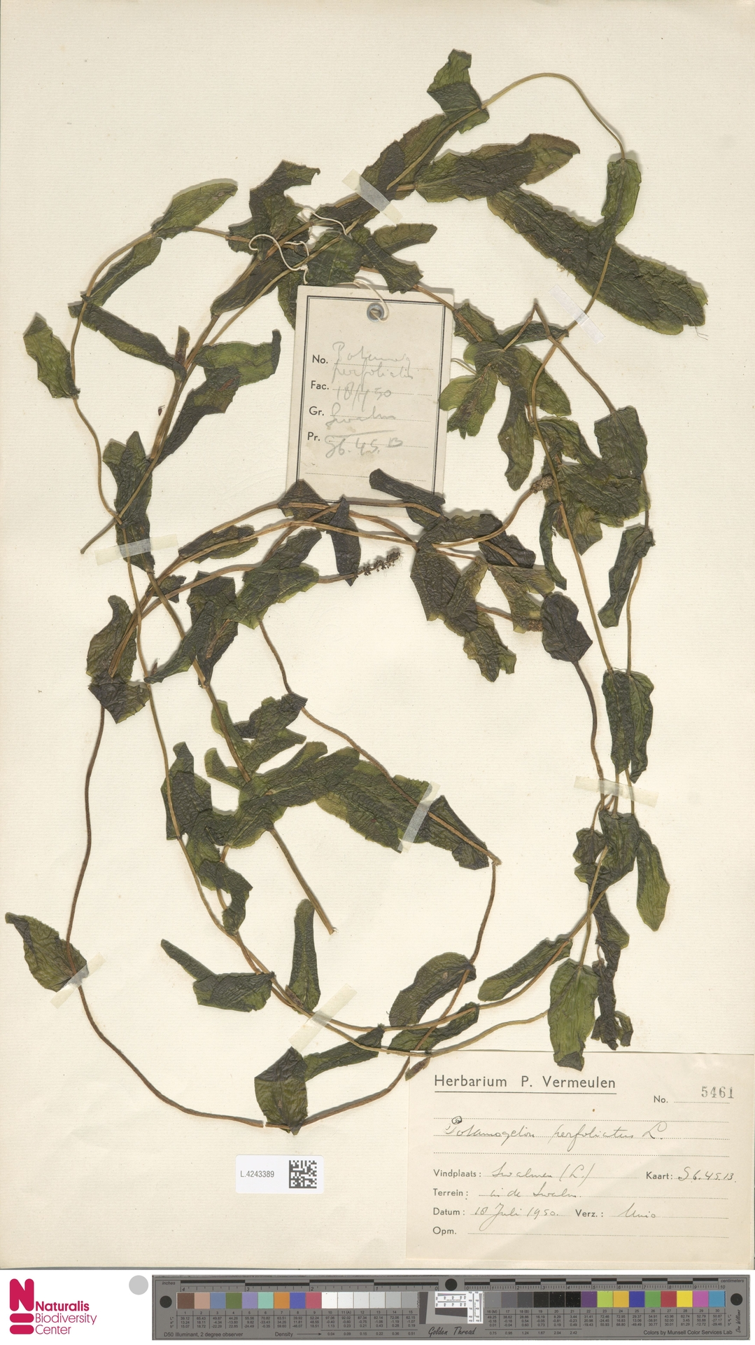L.4243389   Potamogeton perfoliatus L.