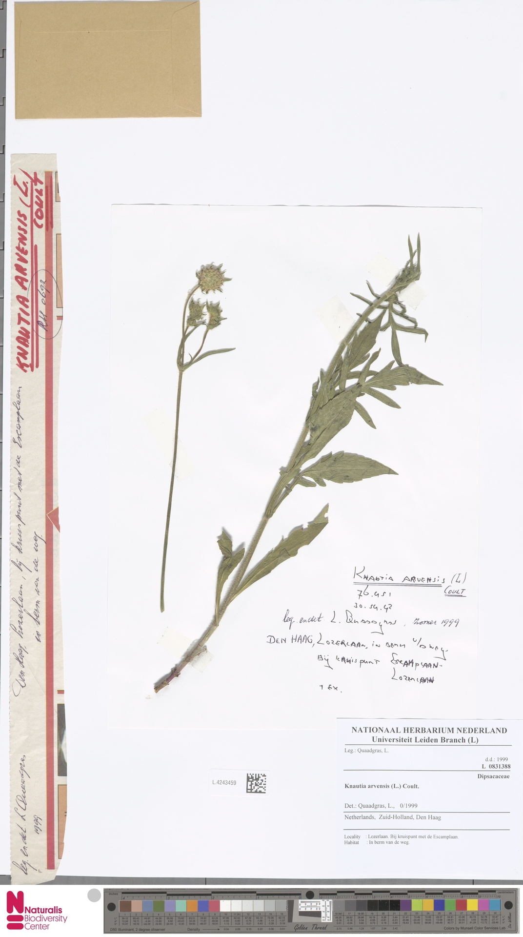L.4243459 | Knautia arvensis (L.) Coult.