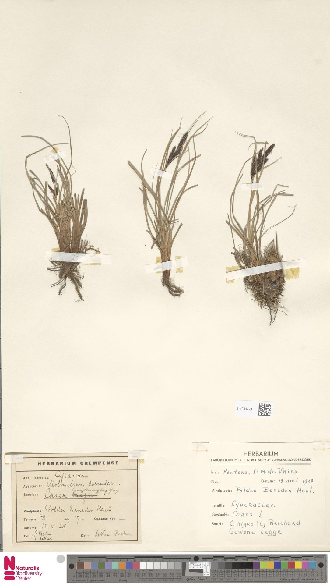 L.4243774 | Carex nigra (L.) Reichard