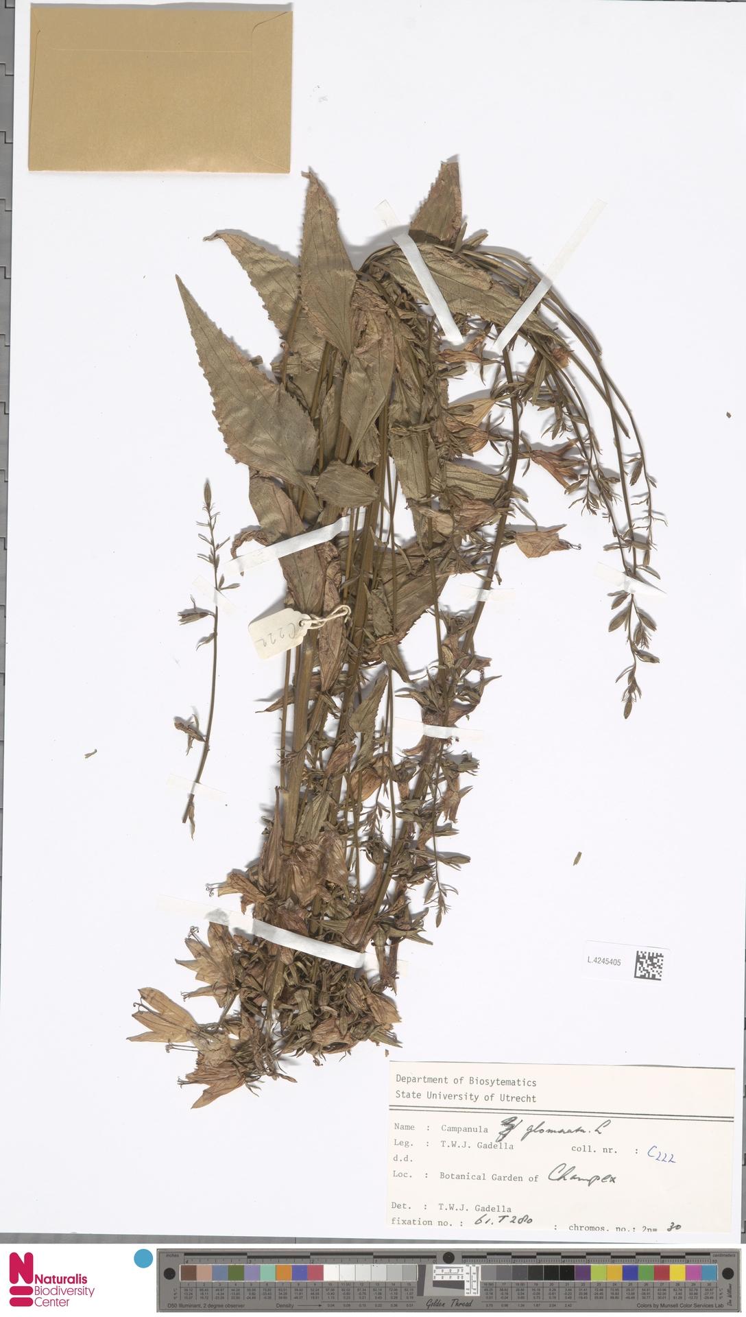 L.4245405   Campanula glomerata L.