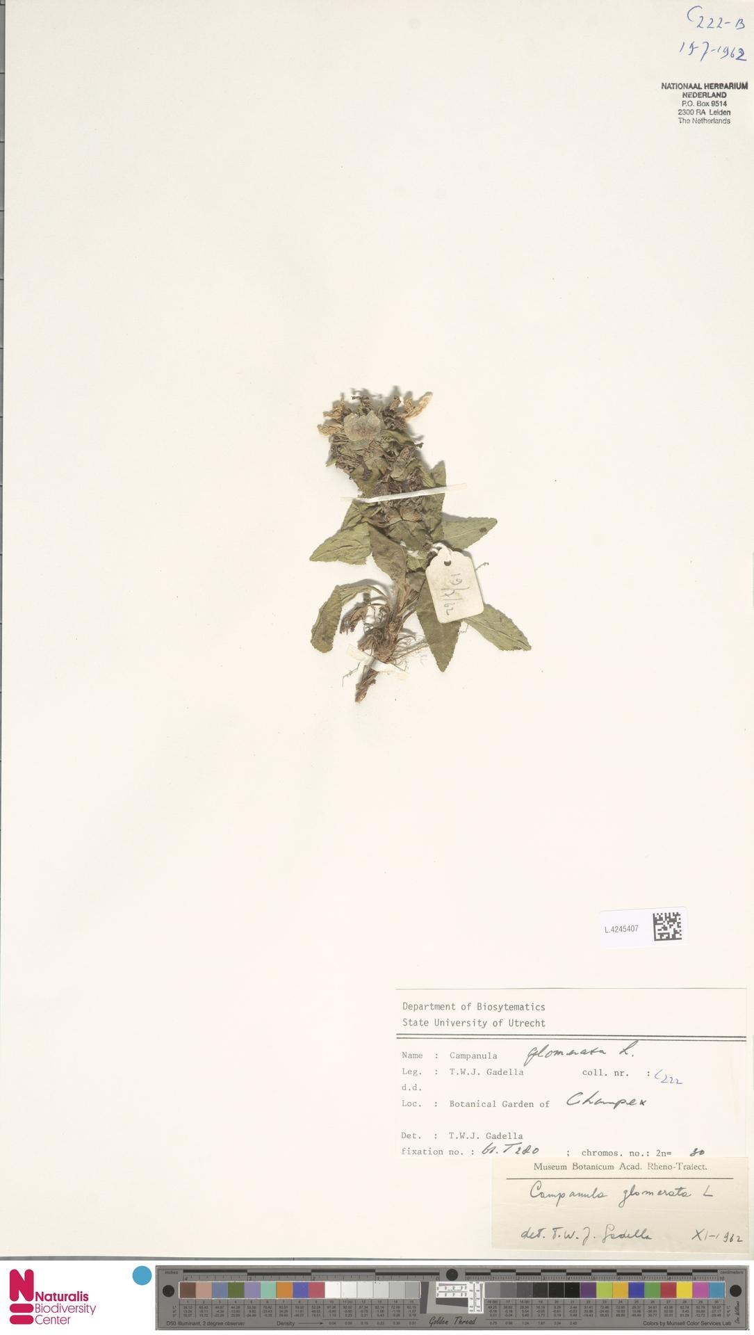 L.4245407   Campanula glomerata L.