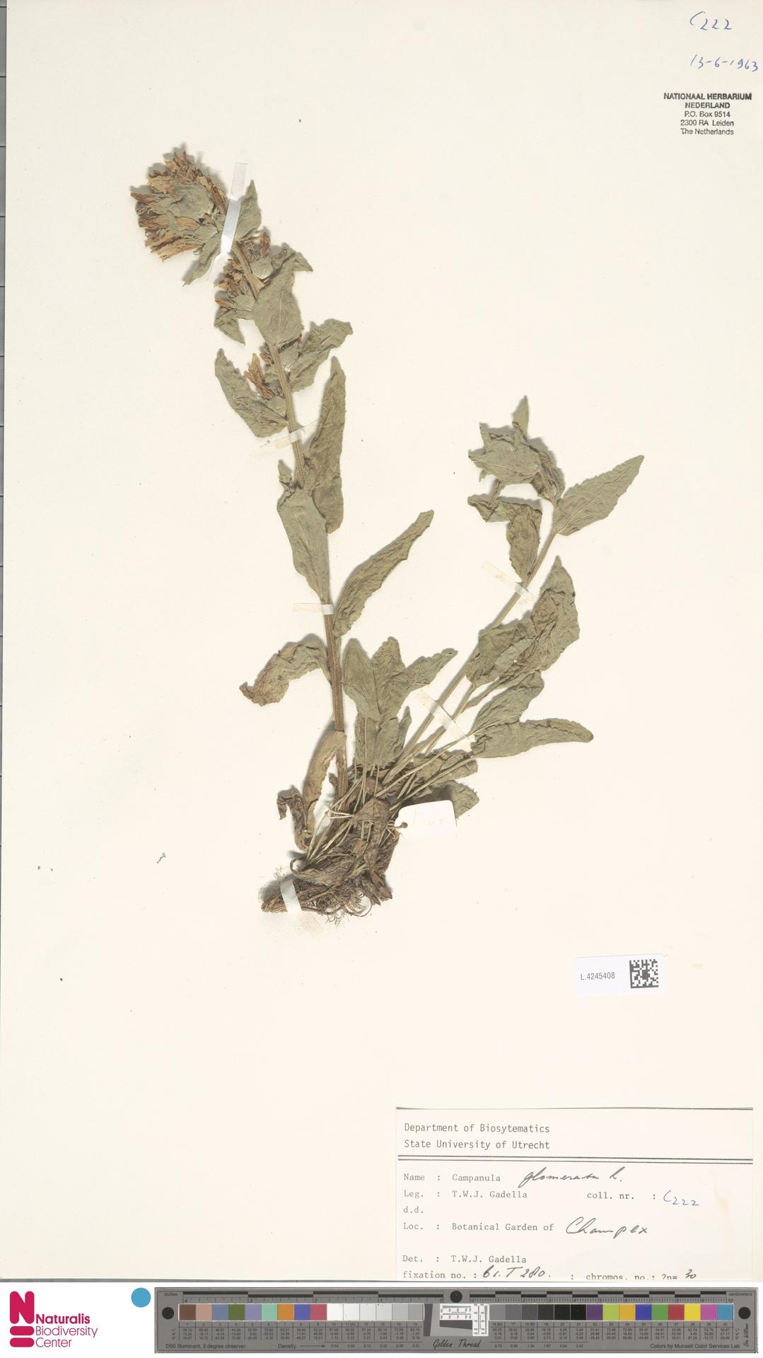 L.4245408 | Campanula glomerata L.