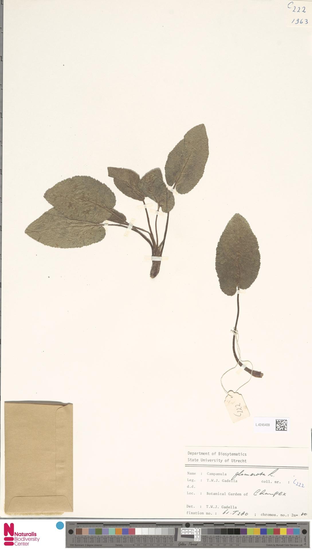 L.4245409 | Campanula glomerata L.