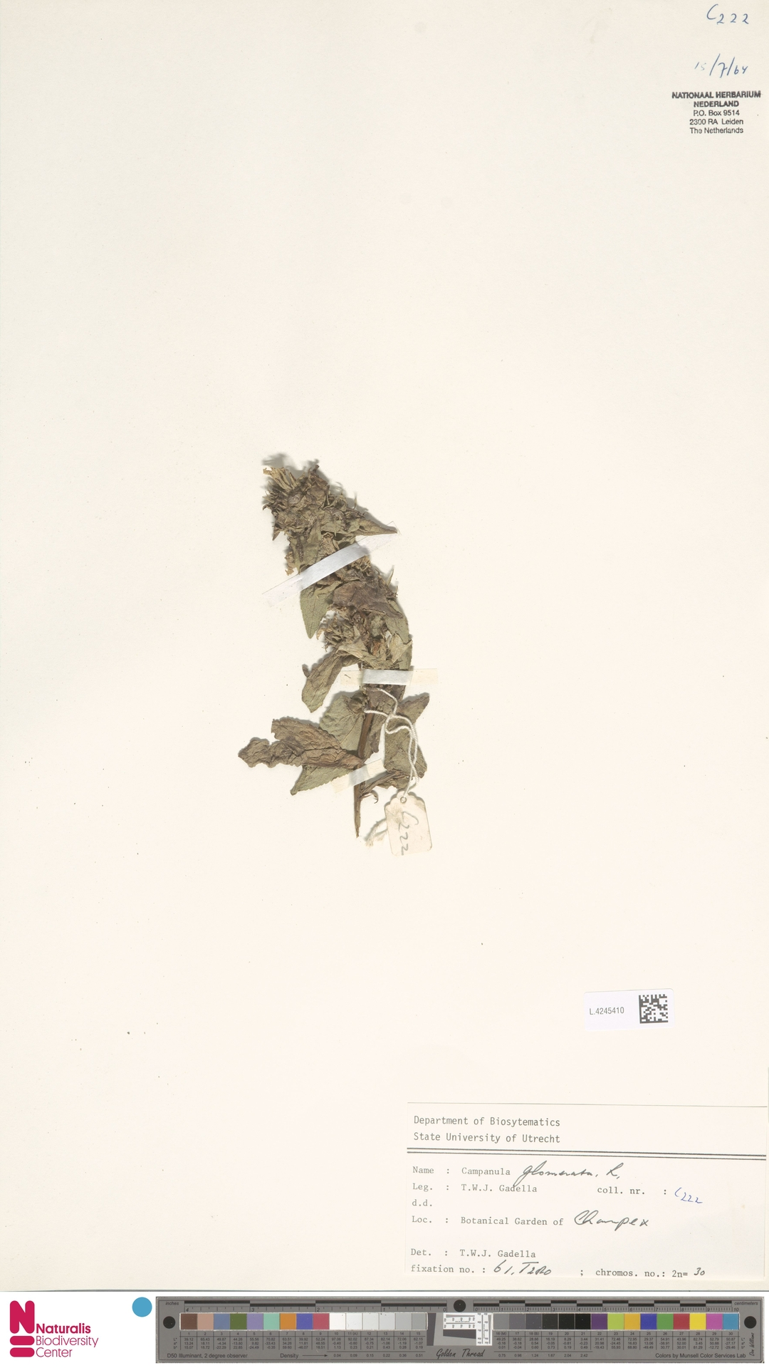 L.4245410 | Campanula glomerata L.