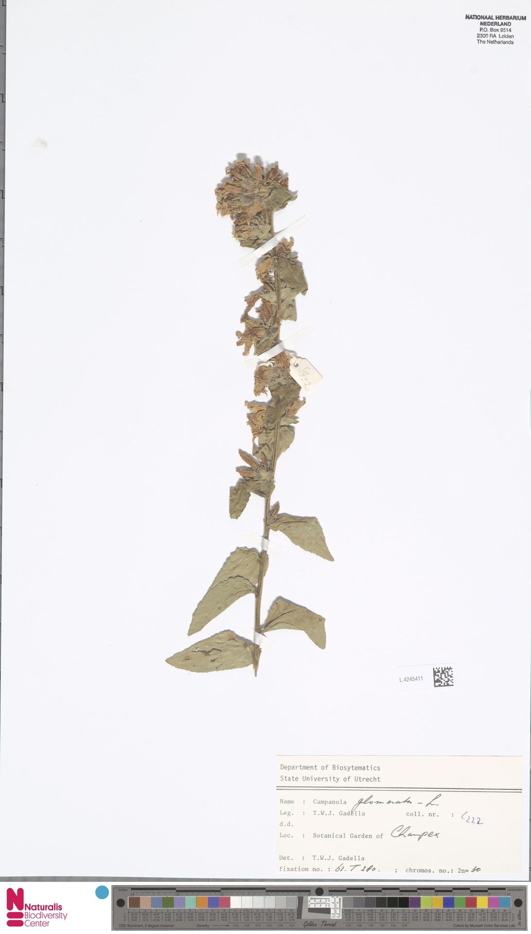 L.4245411 | Campanula glomerata L.