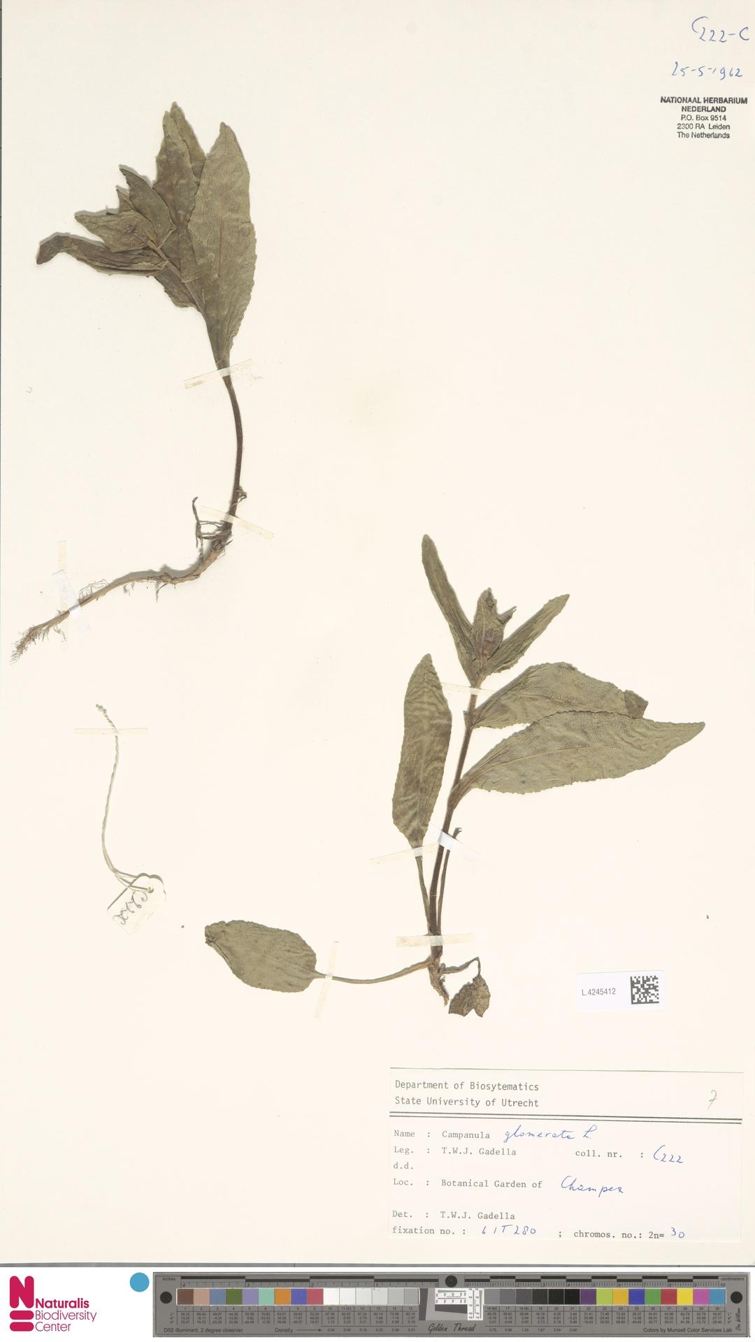 L.4245412 | Campanula glomerata L.