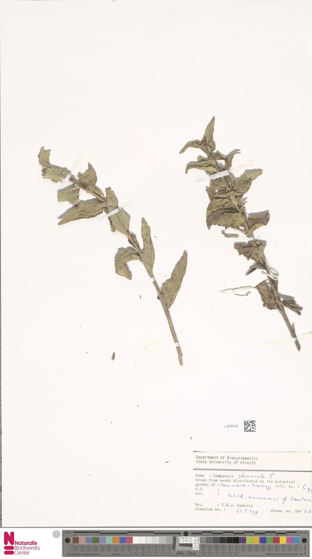 L.4245444 | Campanula glomerata L.