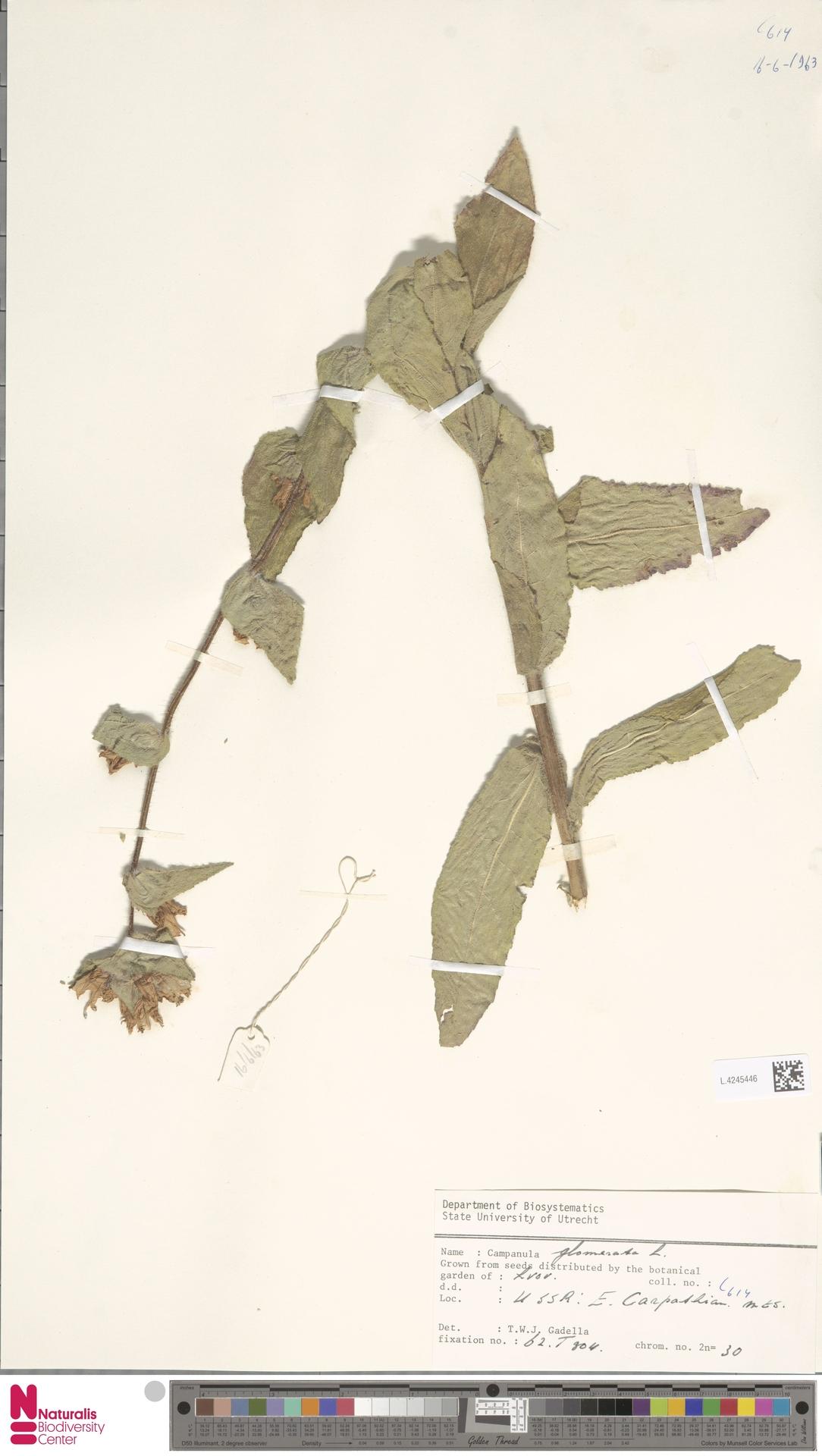 L.4245446 | Campanula glomerata L.