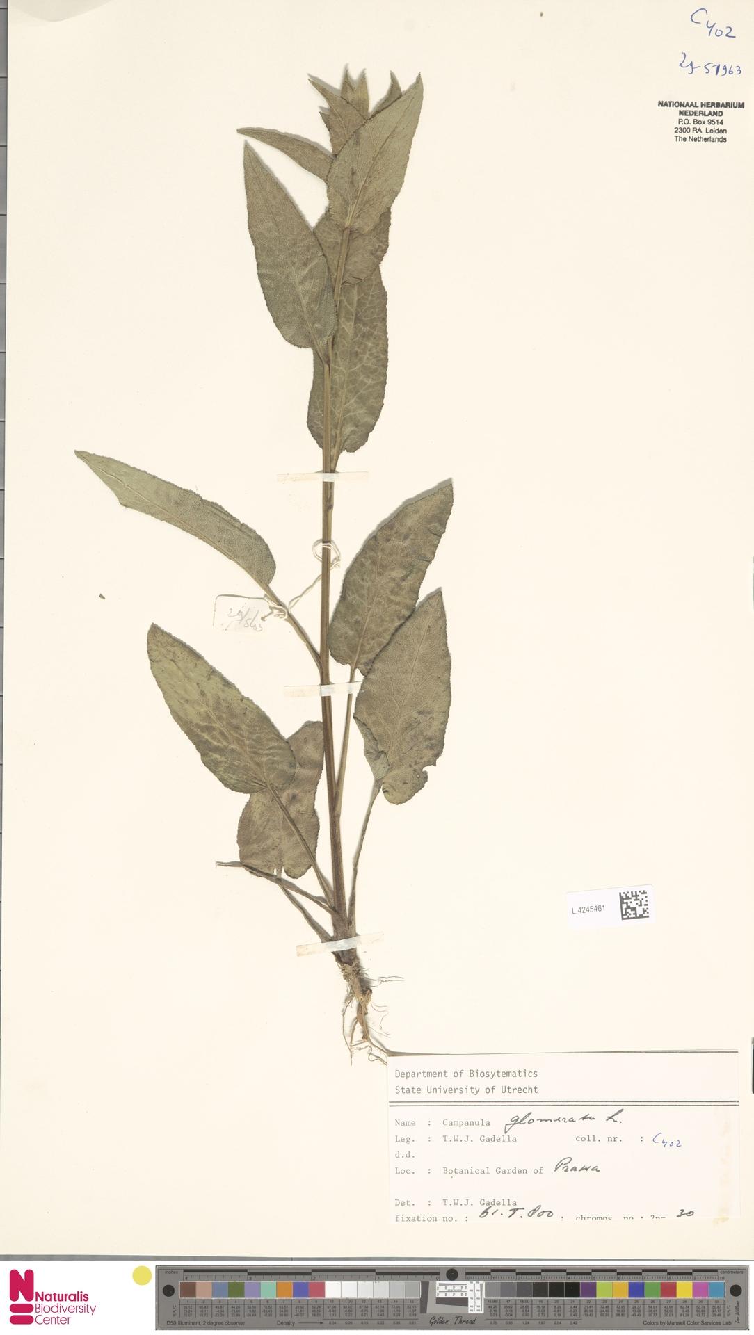 L.4245461 | Campanula glomerata L.