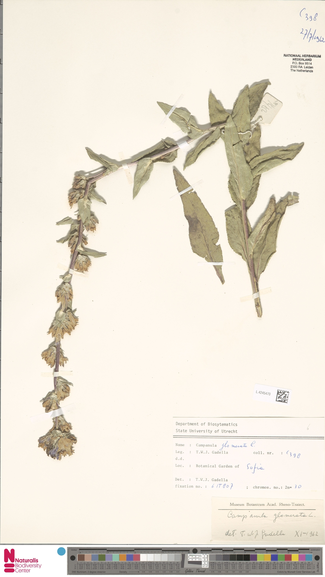L.4245470 | Campanula glomerata L.