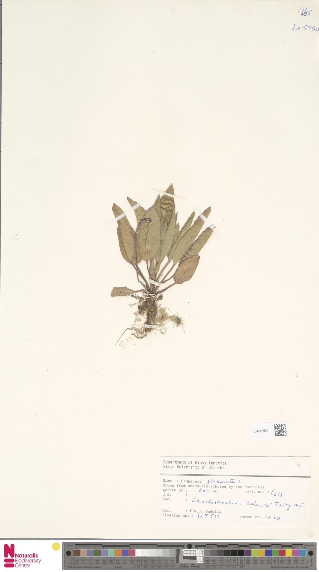 L.4245909 | Campanula glomerata L.