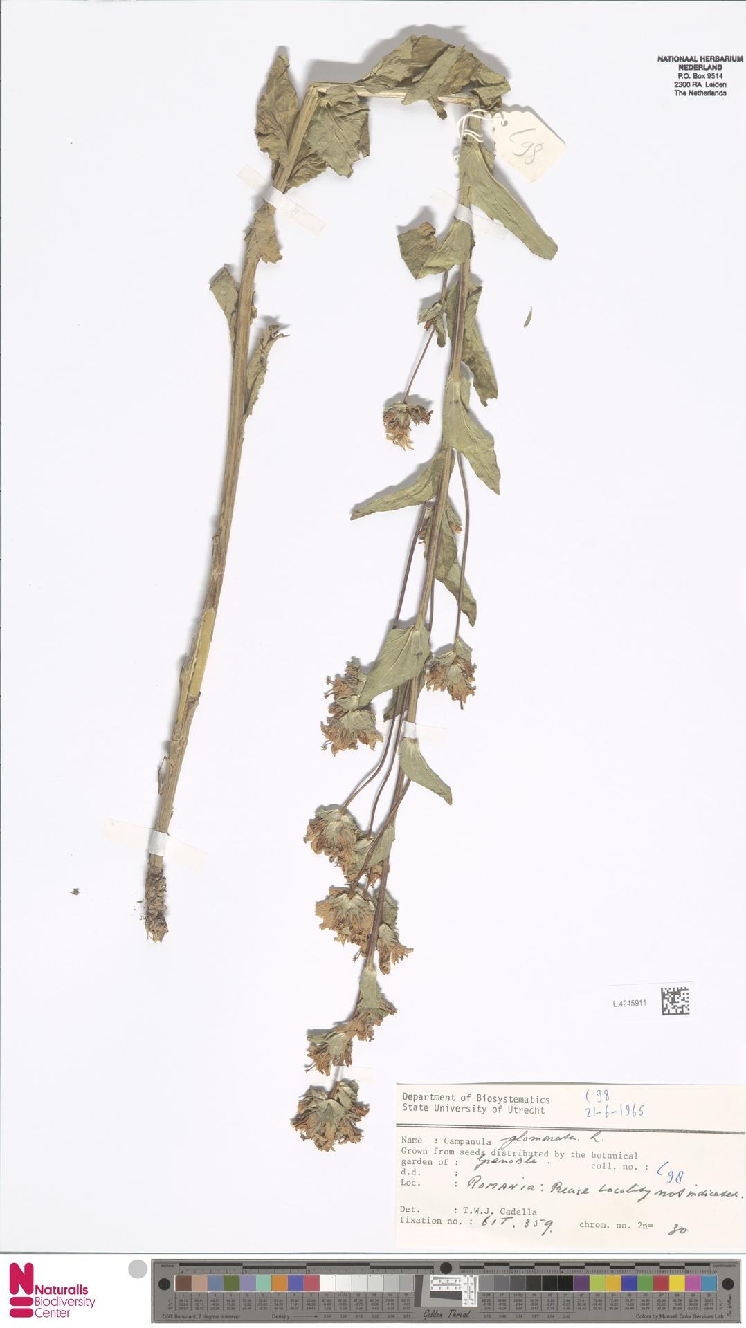 L.4245911 | Campanula glomerata L.