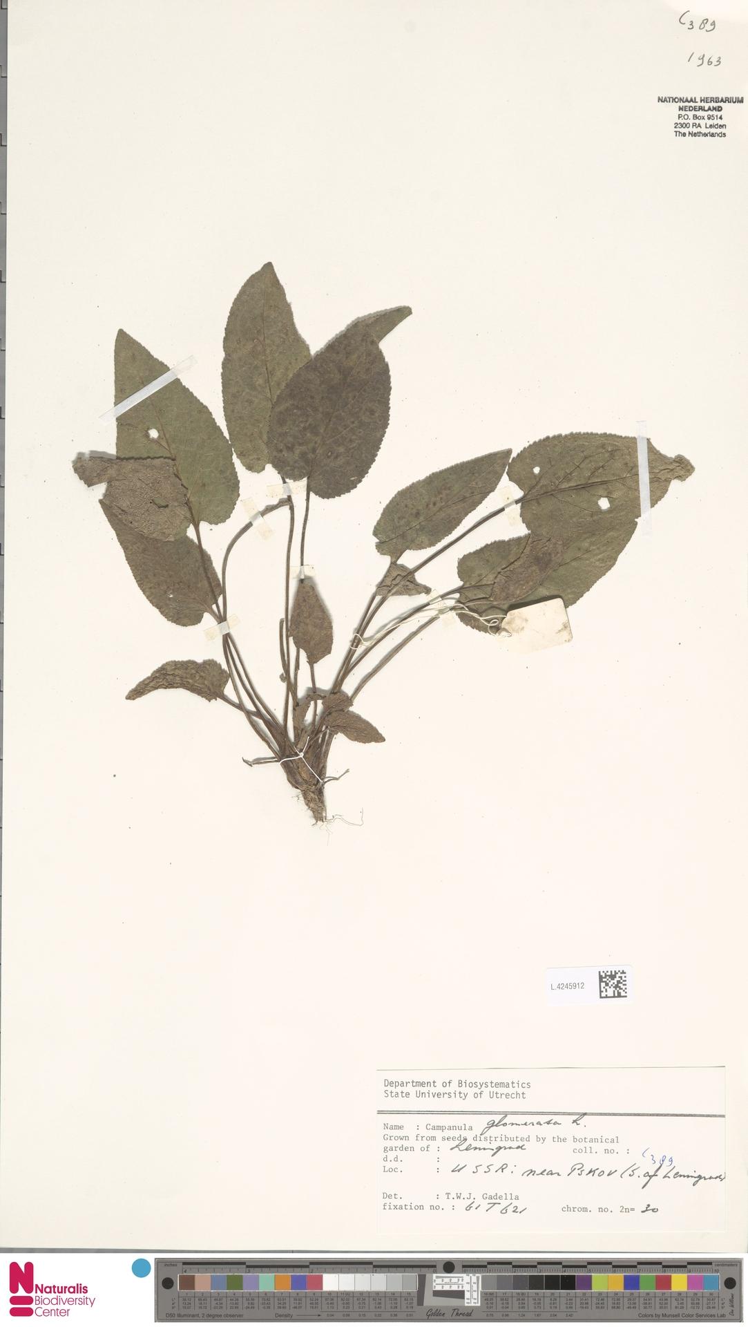 L.4245912 | Campanula glomerata L.