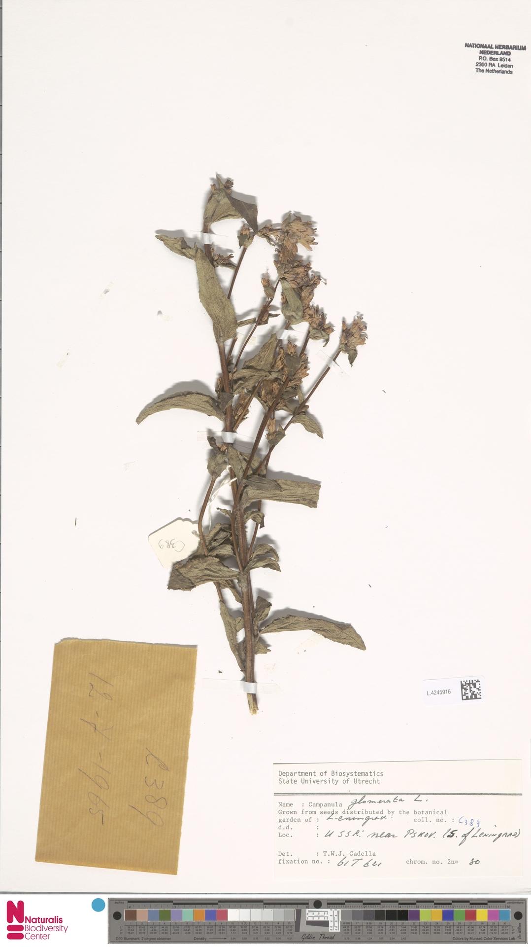 L.4245916   Campanula glomerata L.