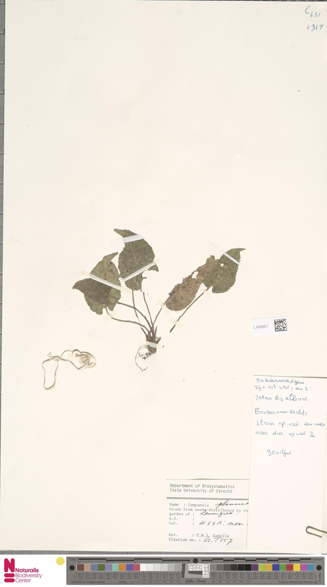 L.4245917 | Campanula glomerata L.