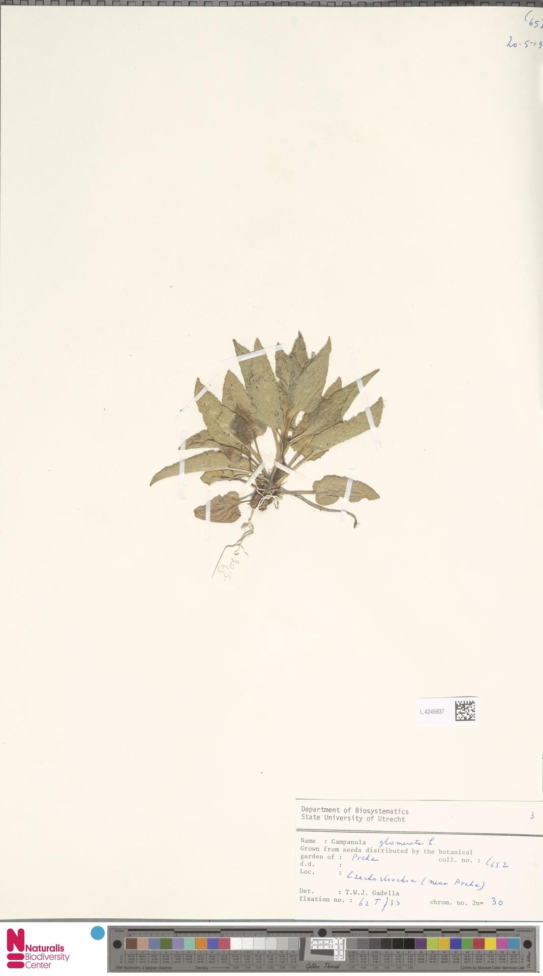 L.4245937 | Campanula glomerata L.