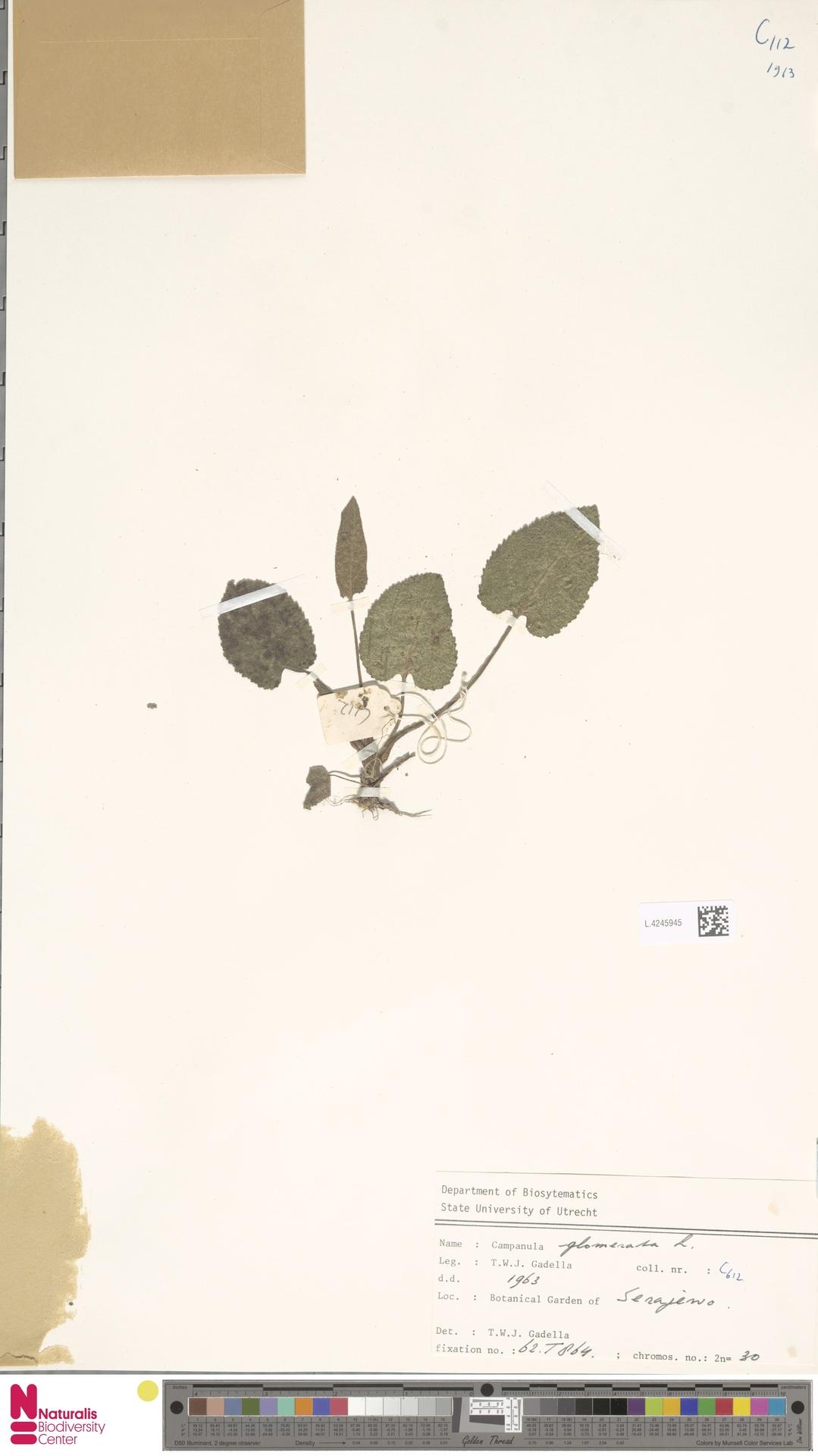 L.4245945 | Campanula glomerata L.