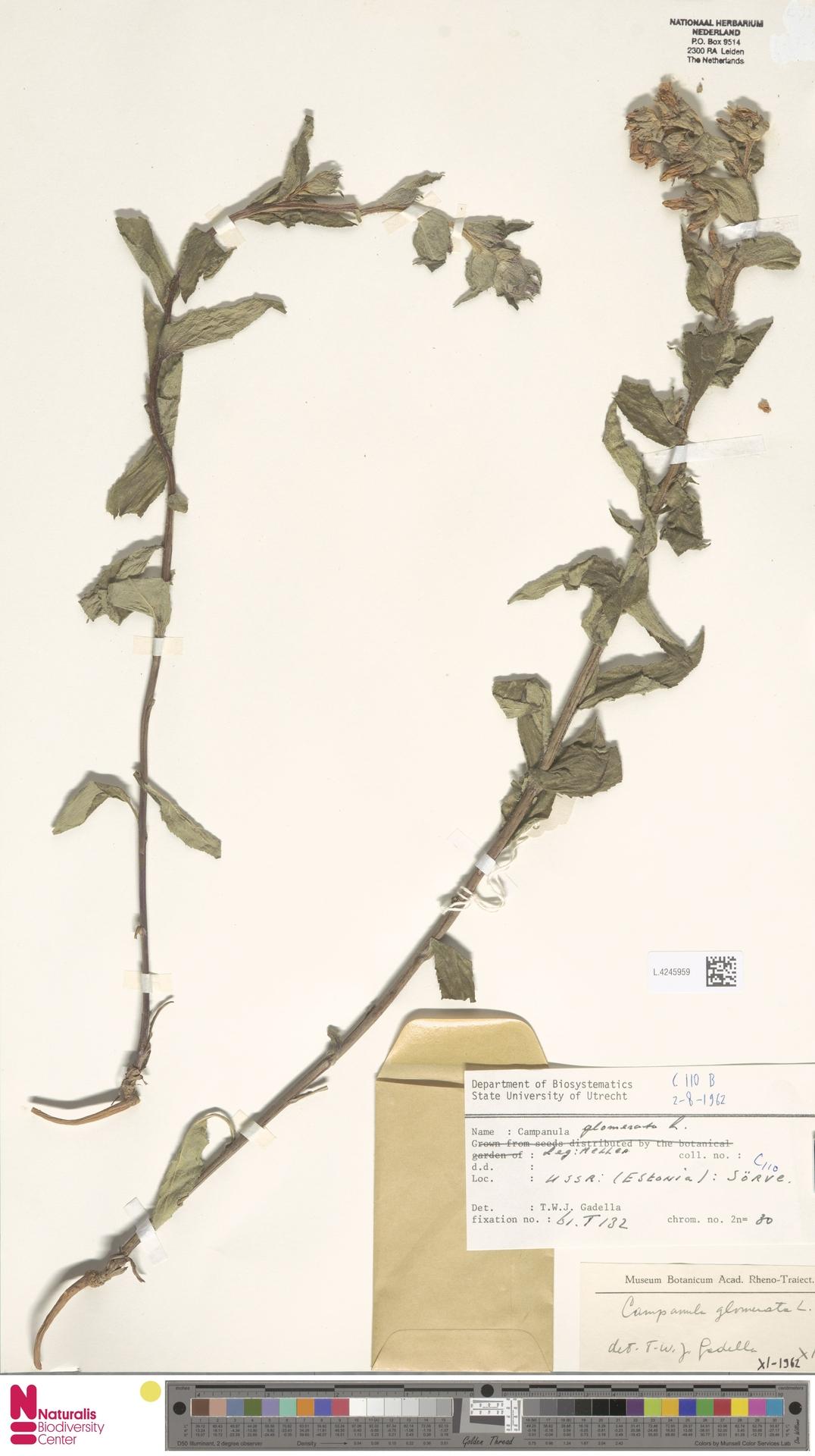 L.4245959 | Campanula glomerata L.