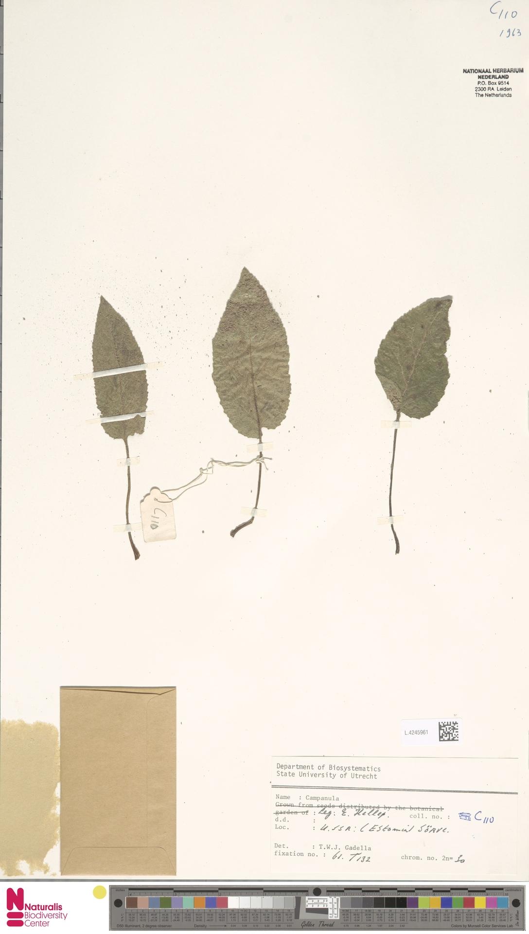 L.4245961 | Campanula glomerata L.