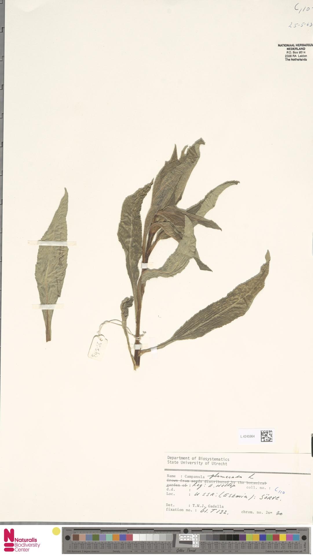 L.4245964 | Campanula glomerata L.