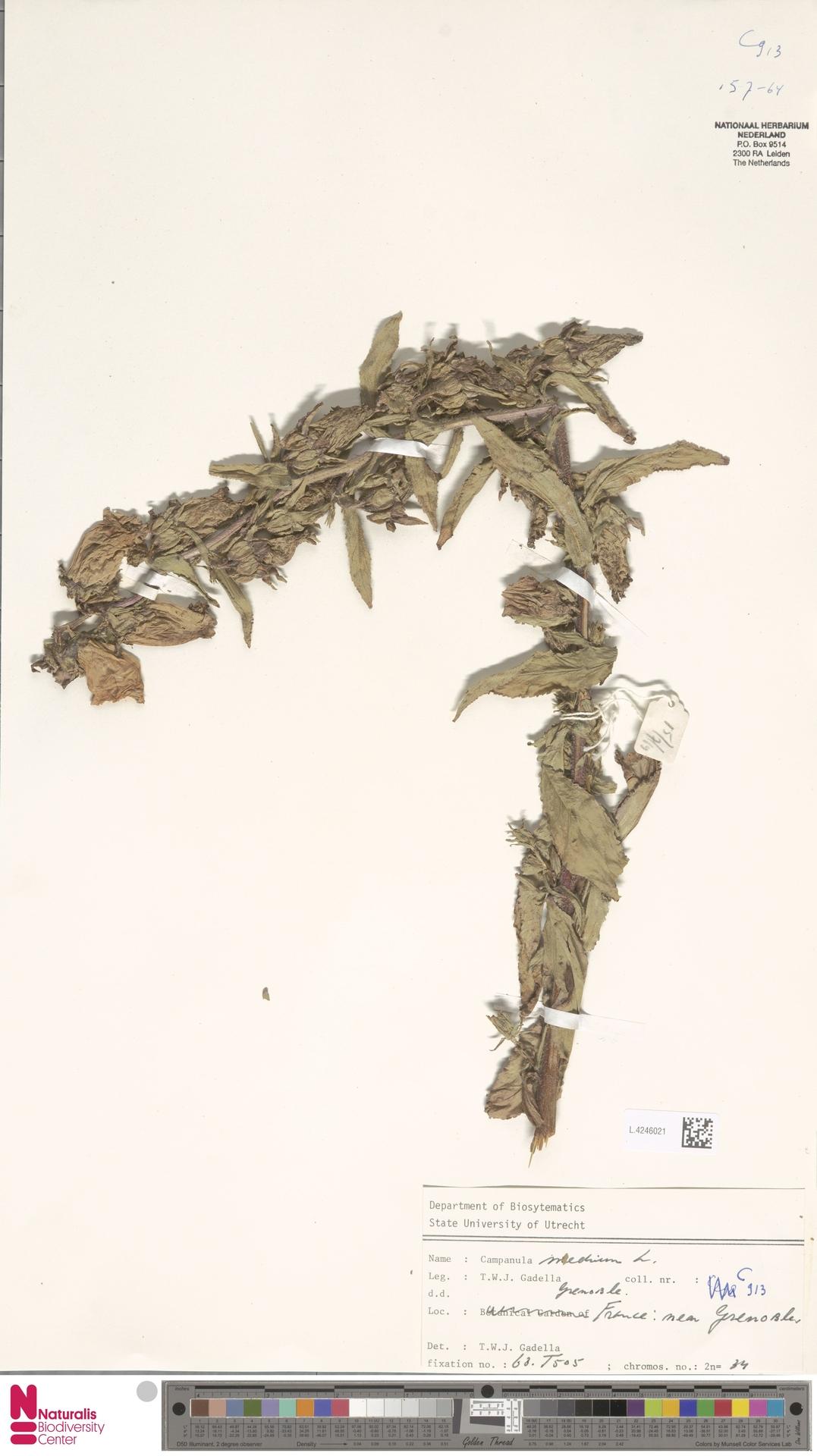 L.4246021   Campanula medium L.