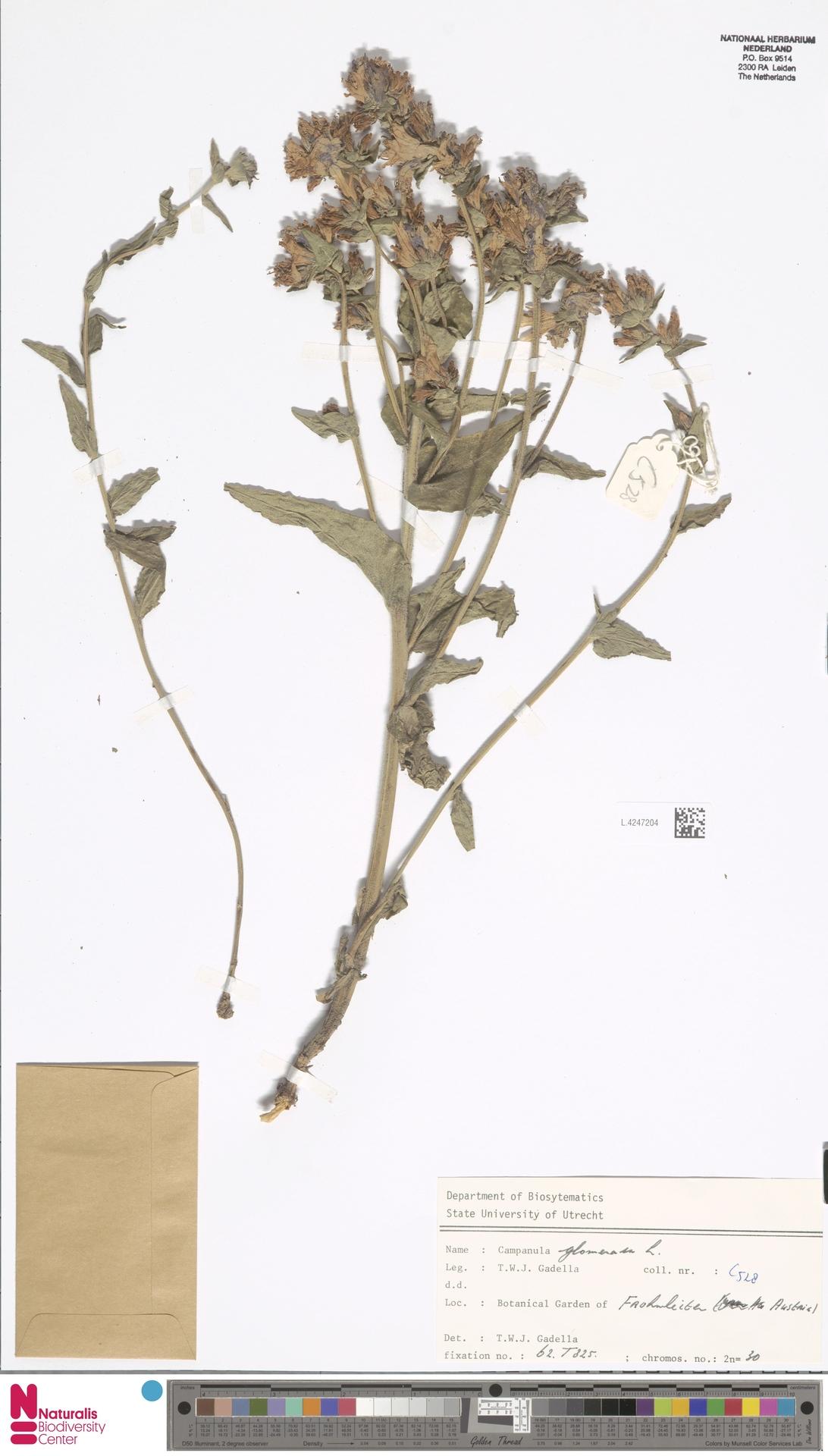 L.4247204 | Campanula glomerata L.