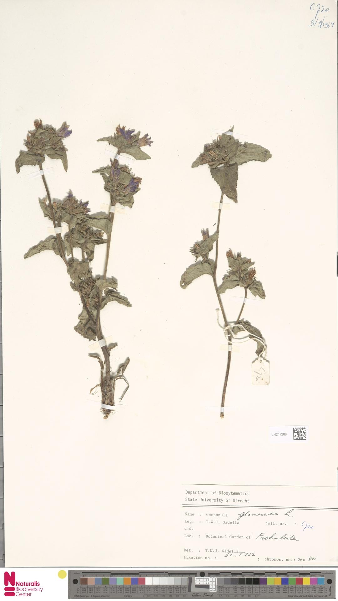 L.4247208   Campanula glomerata L.