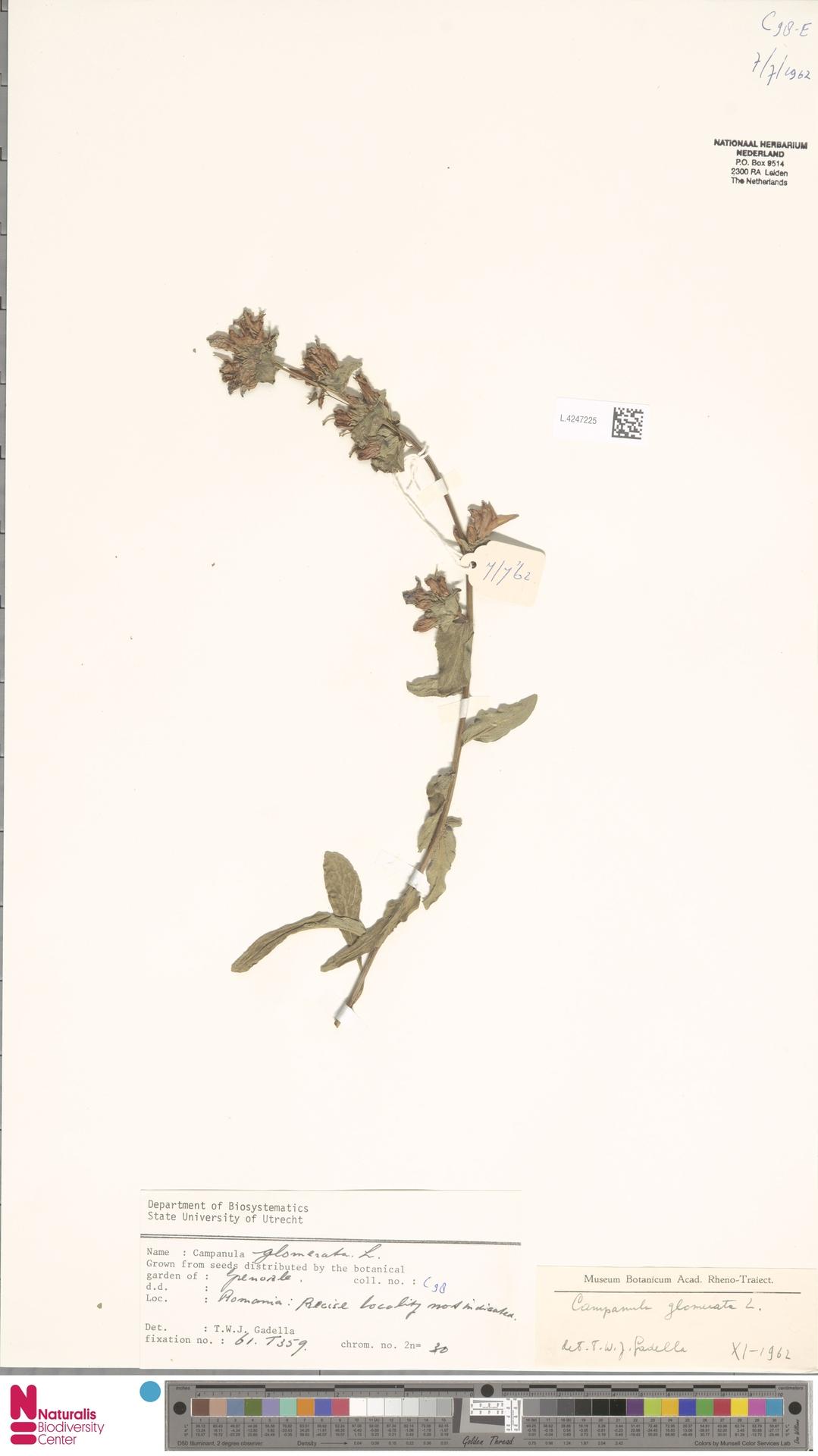 L.4247225 | Campanula glomerata L.
