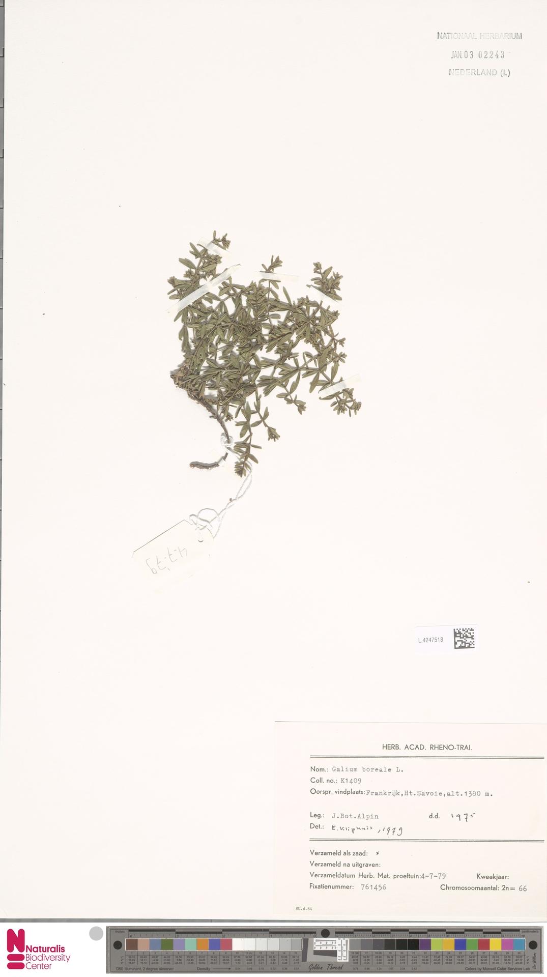 L.4247518   Galium boreale L.