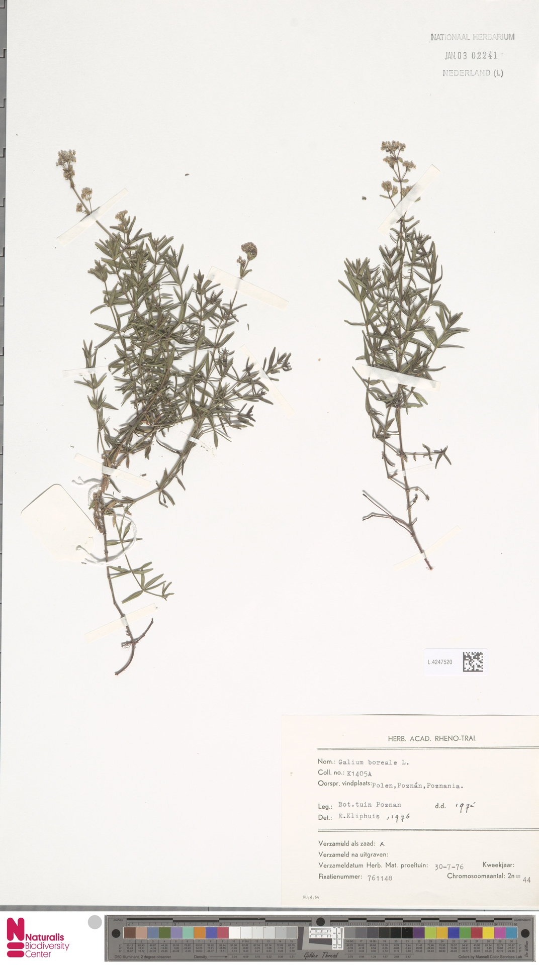 L.4247520   Galium boreale L.