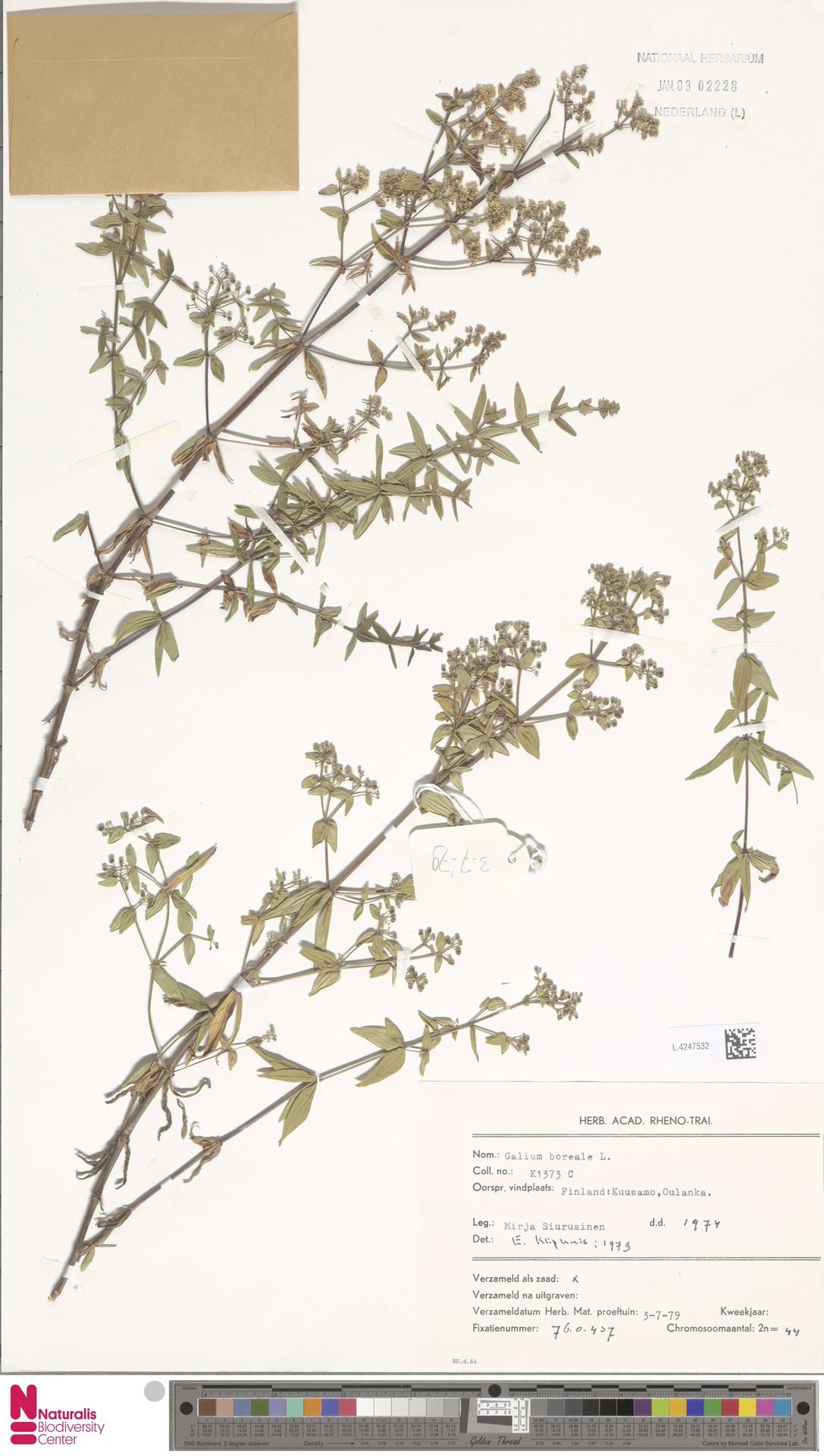 L.4247532 | Galium boreale L.