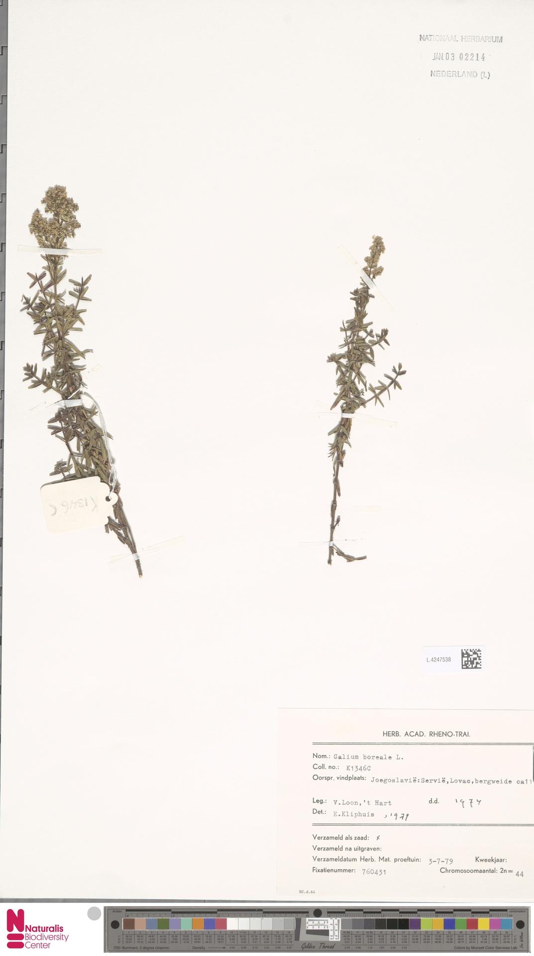 L.4247538 | Galium boreale L.