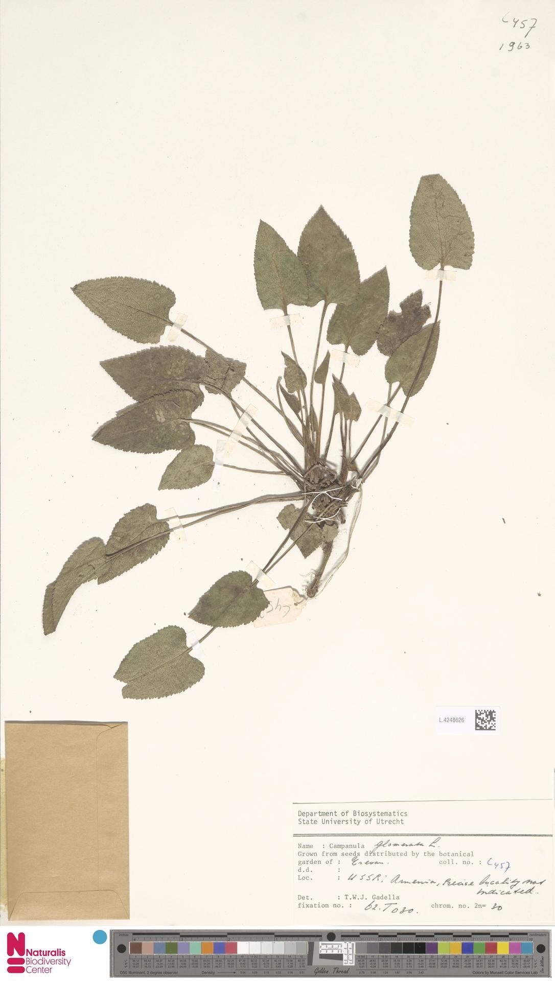 L.4248626   Campanula glomerata L.