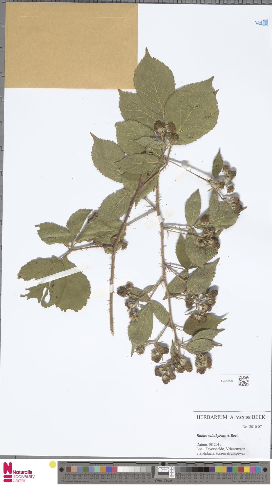 L.4250184 | Rubus calothyrsus A.Beek